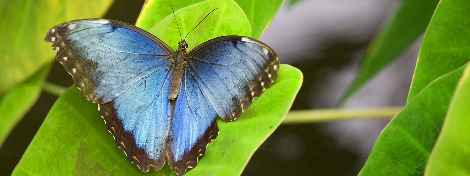 photo of a morpho butterfly resting on a leave